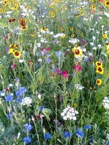 champ de fleurs