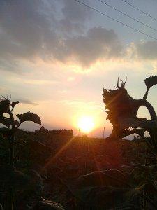 Couché de soleil derrière un tournesol